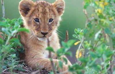 Africancats2