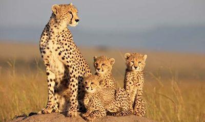 Africancats4